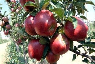 Niğde de elma hasadı başladı: Üreticinin yüzü güldü