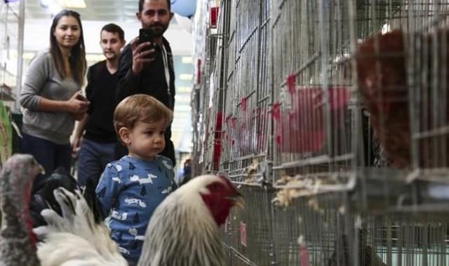İki tavuk 4 bin 200 liraya satıldı