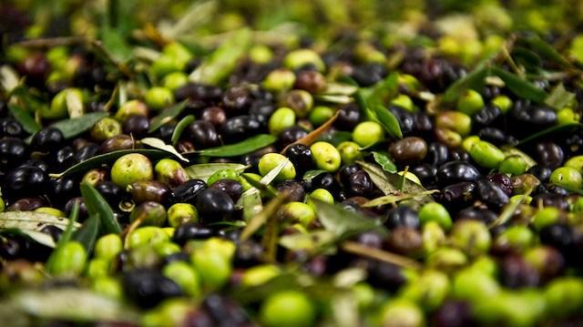 Sofralık zeytinin dörtte biri Almanya ya ihraç edildi