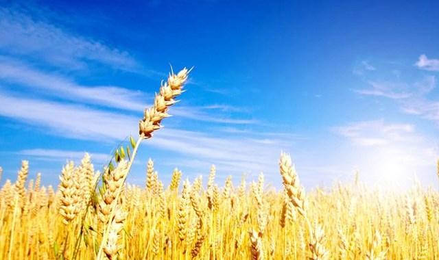 Türkiye den Rusya ya buğday hamlesi