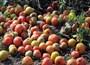 Satamayınca 60 ton domates çürümeye bırakıldı