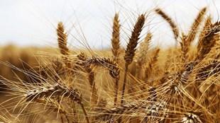 Buğday üreticisini memnun edecek alım fiyatı açıklanacak