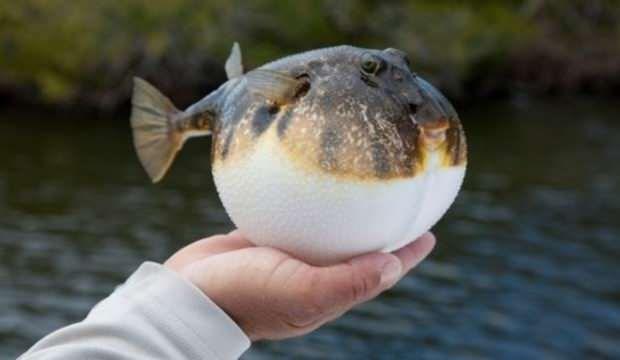 Her isteyen balon balığı avlayamayacak