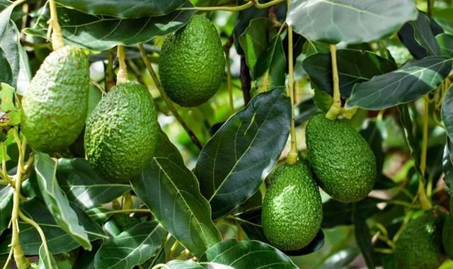 Avokado üretimi 5 yılda 3 katına çıktı