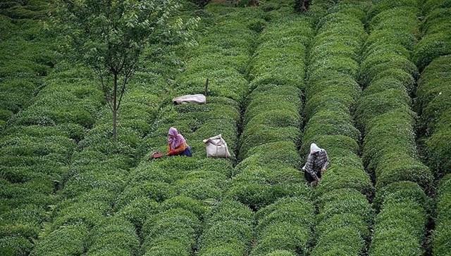 ÇAYKUR dan yaş çay alımı açıklaması