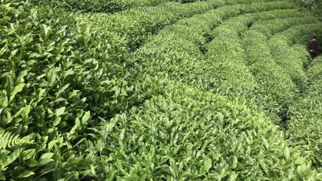 9 ayda 115 ülkeye çay ihraç edildi